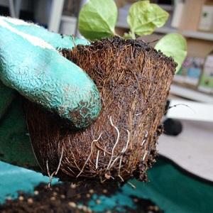 オーガニックコットン苗をプランターに植え替えました