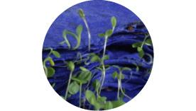 シードペーパー発芽画像